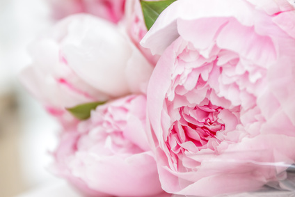 Minikinder Blog-closeup of pink peony flowers 114534451 - alena yakusheva - fotolia.com